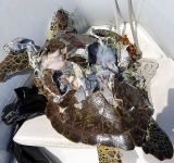 Sea turtles experiencing declines in nesting, increase in deaths, says Nature Foundation