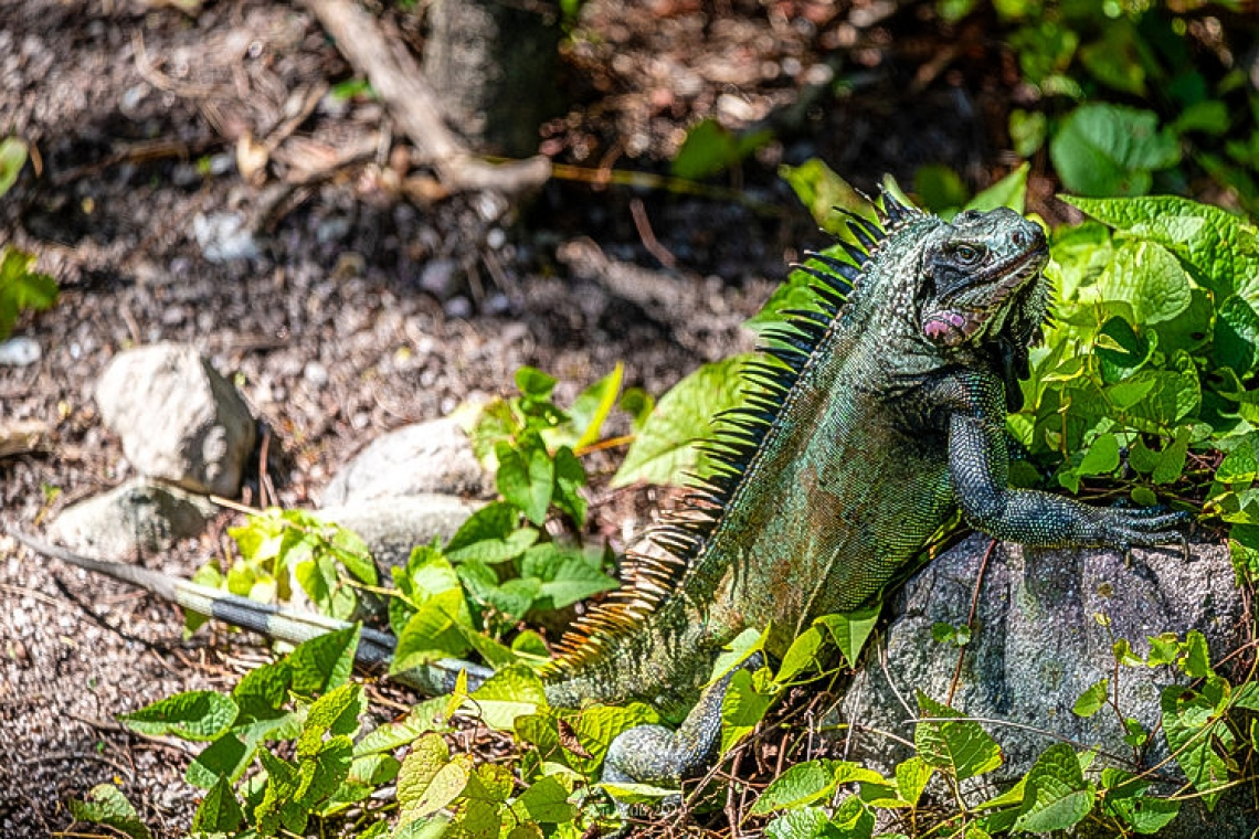 Saba's black iguana now declared endemic