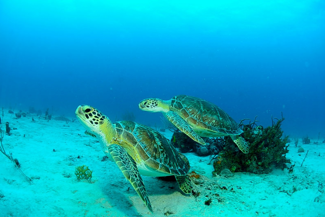 Sea Turtles of SXM!