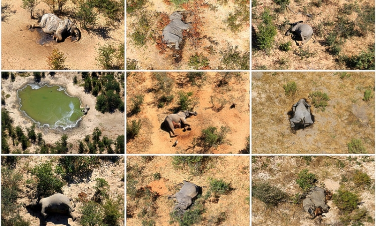 Botswana investigating mystery deaths of at least 275 elephants